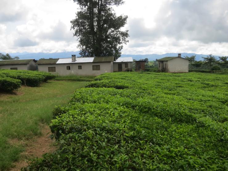 Photo: Tea Plantation, Tukuyu Tanzania